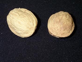Latex Walnut